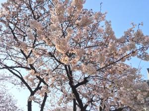 桜の開花が進んでいます。