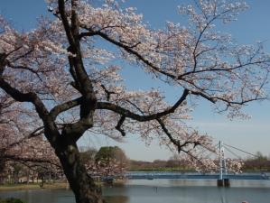 水元さくら堤の桜