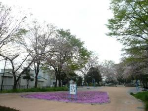 桜より芝桜
