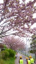 「桜」の通学路2
