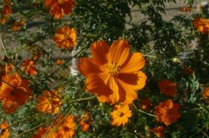 秋色キバナコスモス