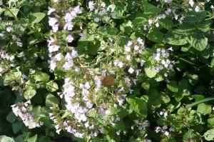 ミントの香りとその花