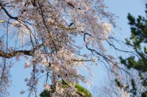 枝垂桜 水元香取神社