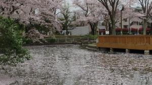 金町公園のさくら