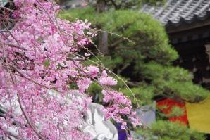 柴又帝釈天の枝垂桜2