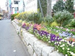 金町駅北口の花満開