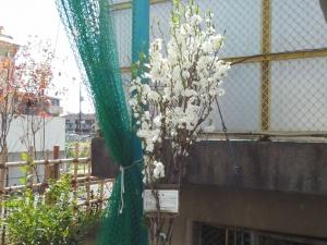 ハナモモの木