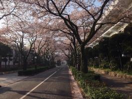 立石さくら通りの桜吹雪…