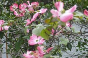 桜散りハナミズキの季節