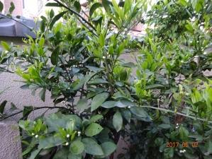 初孫誕生(2009年)を記念して植樹した「温州みかん」に-------