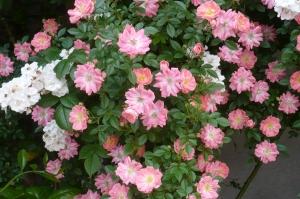 美しき5月の薔薇(2)