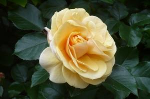 美しき5月の薔薇(4)