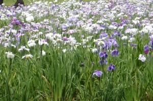 水元公園の花菖蒲(1)