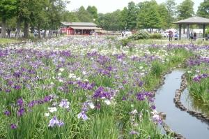 水元公園の花菖蒲(2)