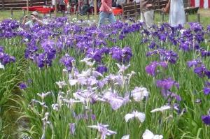 水元公園の花菖蒲(3)