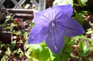 日本的な色にて咲きにけり