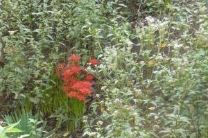 フジバカマとマンジュシャゲの秋