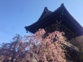 柴又帝釈天の枝垂桜 3