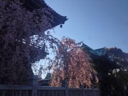 柴又帝釈天の枝垂桜 4