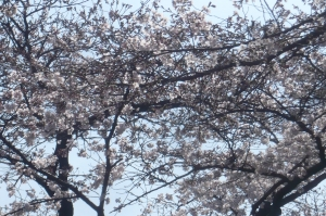 見事に咲いた桜の宴