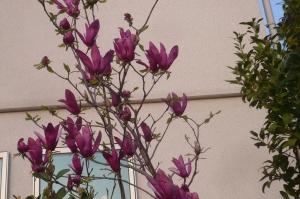 モクレンの春