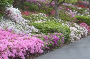 にいじゅくみらい公園の「サツキの園」(3)