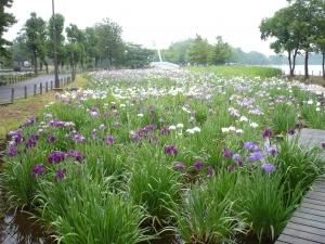 水元大橋をのぞみる七分咲きの「花菖蒲」
