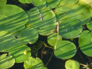 ごんぱち池の貴重種(1)