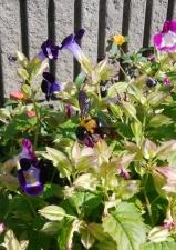 トレニアの花から