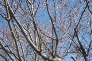 桜が咲いています!