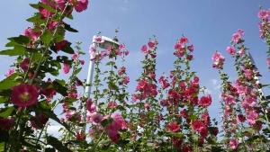 「タチアオイ」咲き混み中。