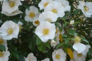 白いバラが咲いていました。