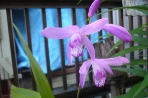 気温30度の庭で咲いたシラン