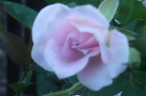 ミニバラの香り