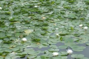 スイレン咲く水元公園