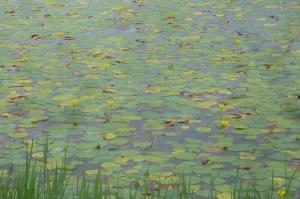 ごんぱち池のアサザ