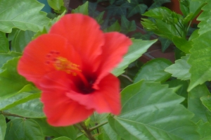ハイビスカスは夏の花(2)