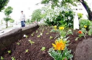 金町公園花壇の植え付け