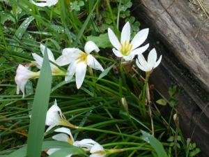 秋取り込み花はタマスダレ