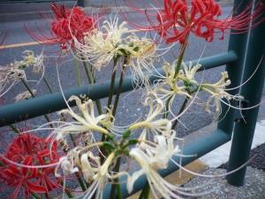 街道沿い柴又の花めぐり(2)