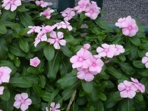 街道沿い柴又の花めぐり(5)