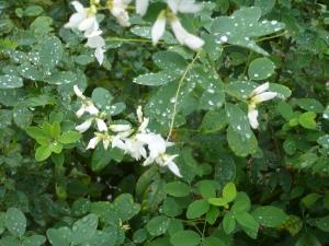 雨にぬれてひっそりと萩の花 水元3丁目(4)